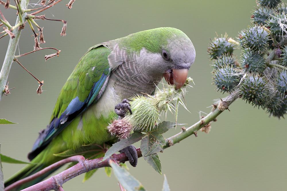 Monk Parakeet, Gary Clark