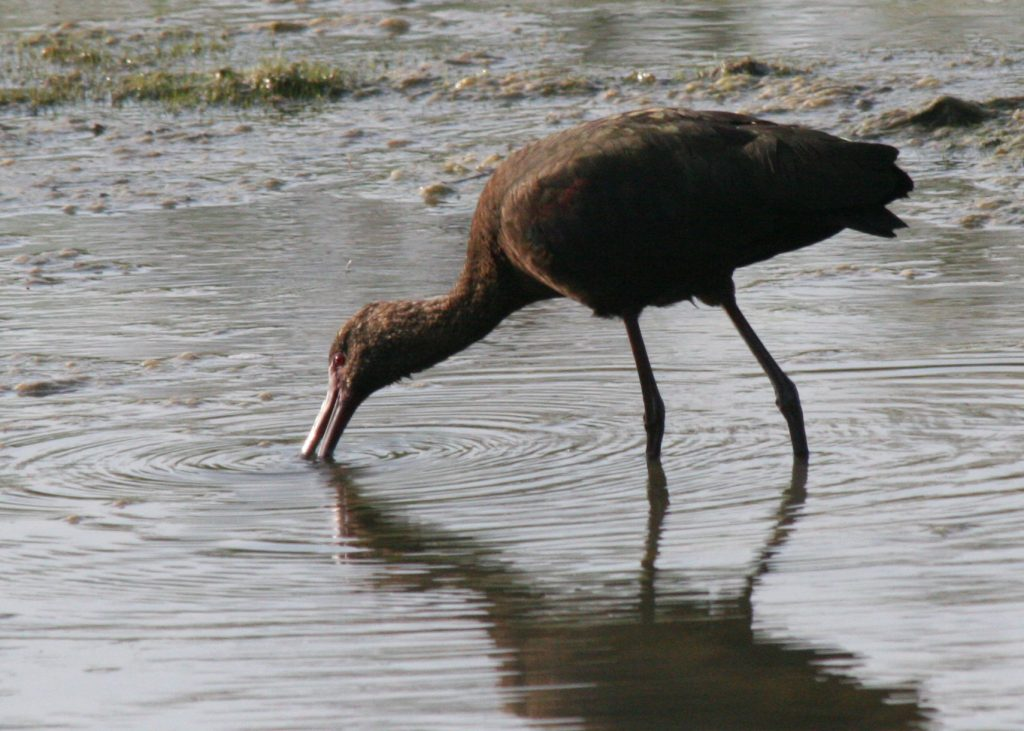 Probing the mud of a shallow wetland: what an ibis does best, by Jim deVries.
