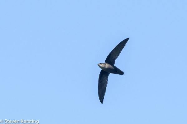 Chimney Swift, Steven Kersting