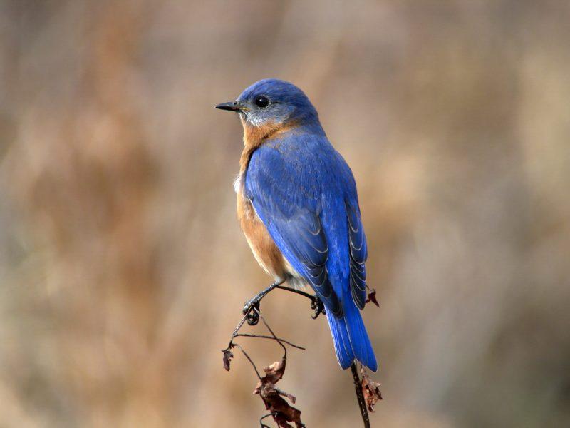 Eastern Bluebird, Megumi Aita