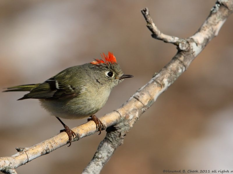 Ruby-crowned Kinglet, Howard Cheek