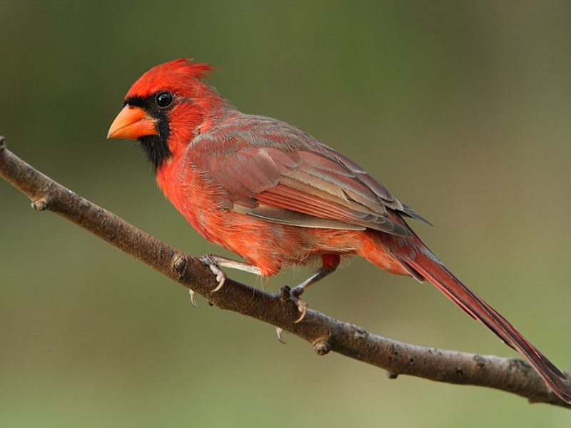 Male Northern Cardinal, Howard Cheek