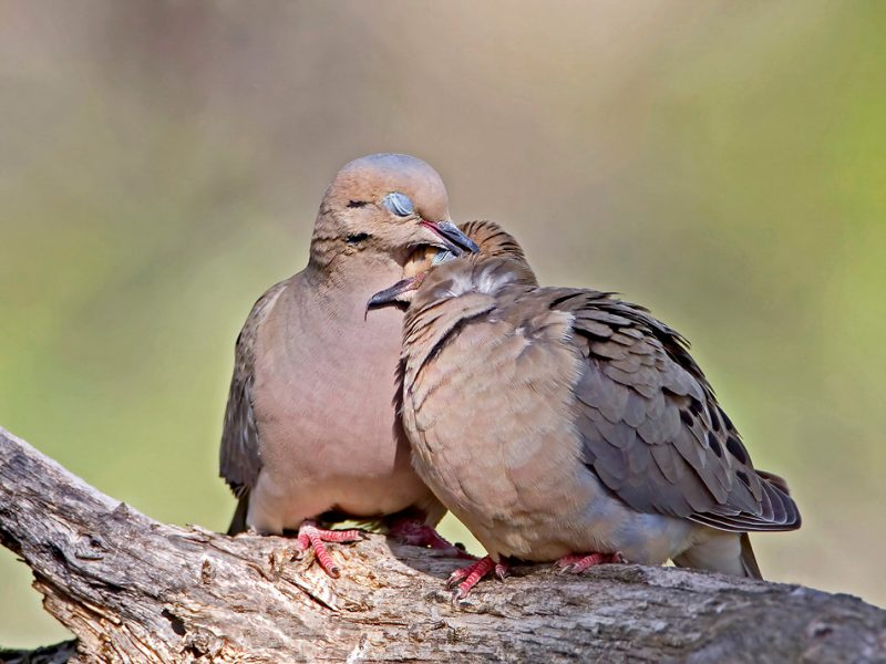 Mourning Dove, Roger Williams