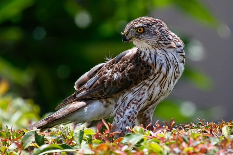 Sharp-shinned Hawk, Paul Marto