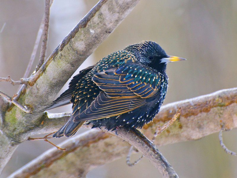 European Starling, Warren Lynn