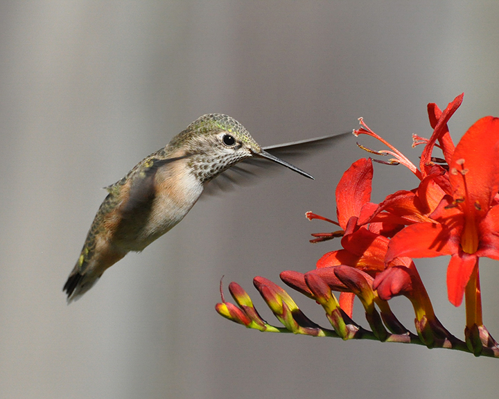 Rufous Hummingbird, Heather Roskelley