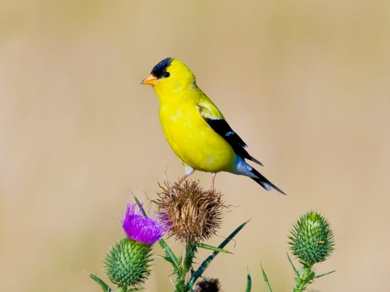 American Goldfinch, Hazel Erikson