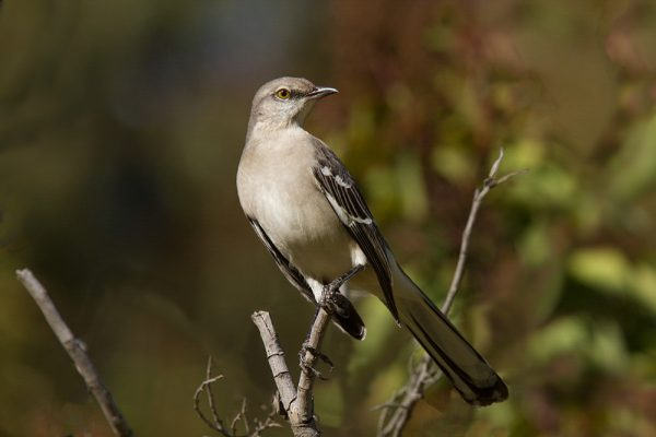 Northern Mockingbird, Marlin Greene