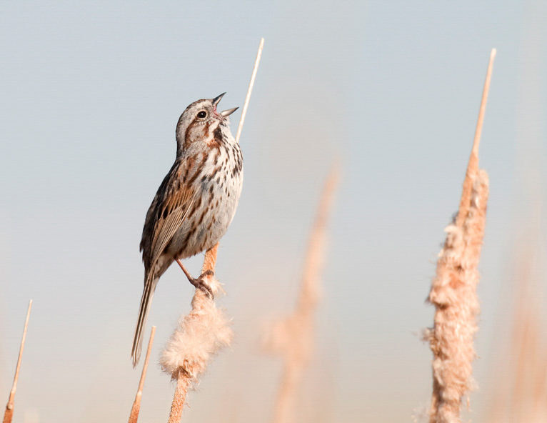 Song Sparrow, Vaughn Cottman