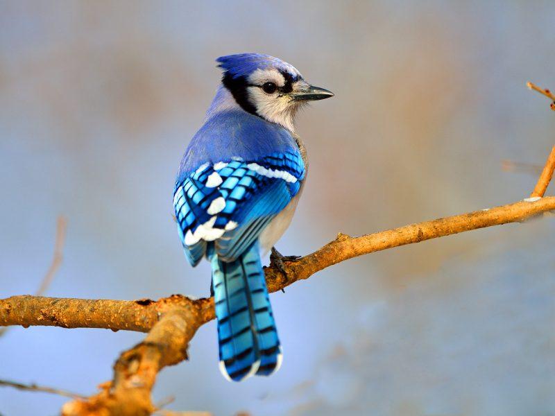 Blue Jay, Brian Kushner