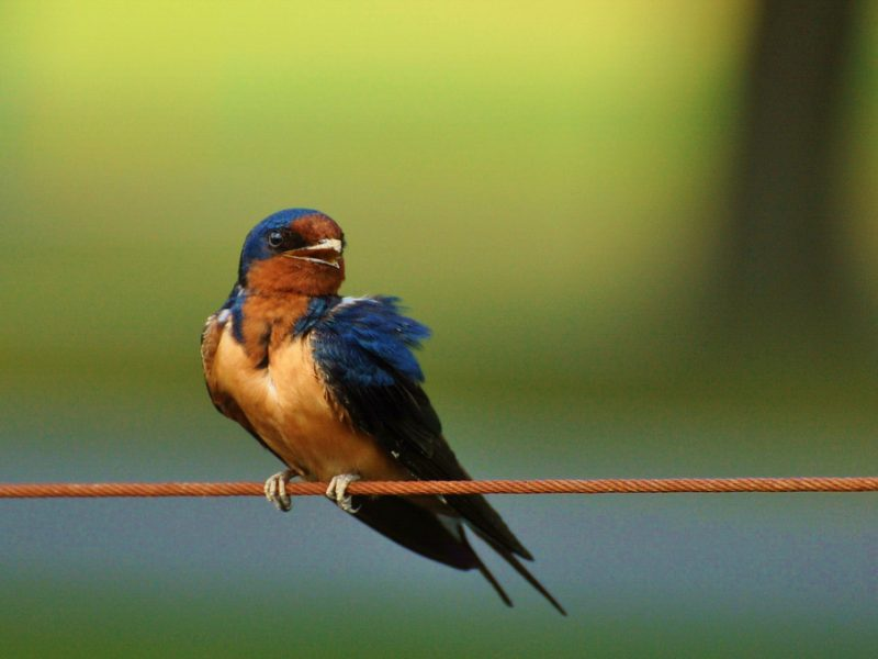 Barn Swallow, Jeff Reiter