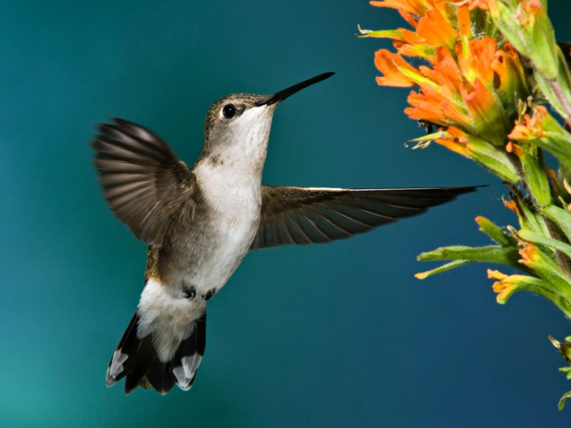 Black-chinned Hummingbird, Richard Pick
