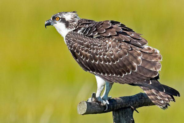 Osprey, Brian Kushner