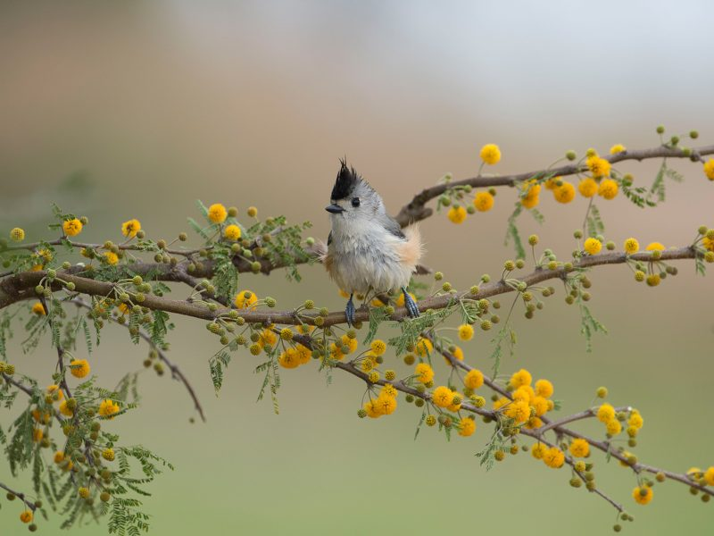 Black-crested Titmouse, Darla J Oathout