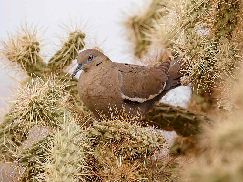 White-winged Dove, David Blinder
