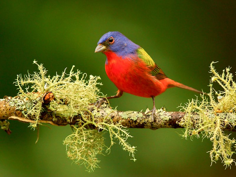 Painted Bunting, Jack Rogers
