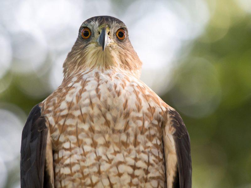 Cooper's Hawk, Lauren Harnett