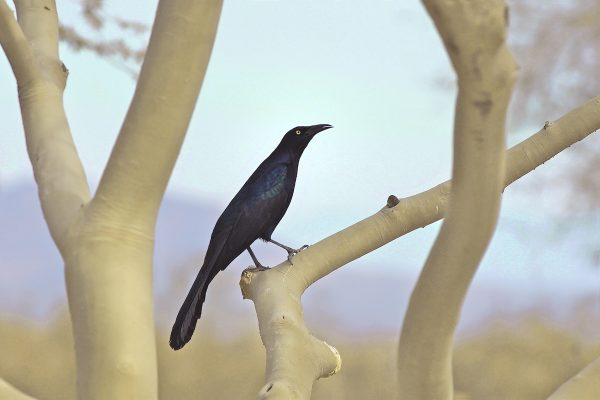 Great-tailed Grackle, Rogervan Gelder