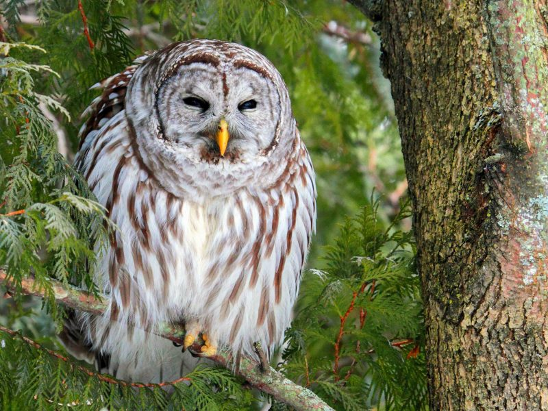 Barred Owl, Mark Peck