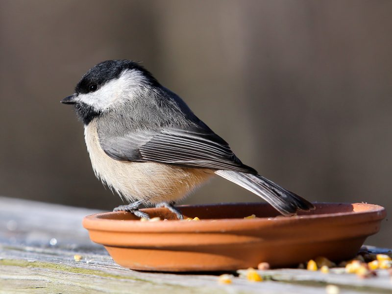 Carolina Chickadee, Stephen Wethington