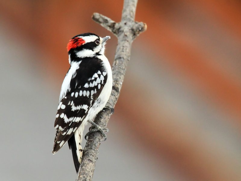 Downy Woodpecker, Maria Corcacas