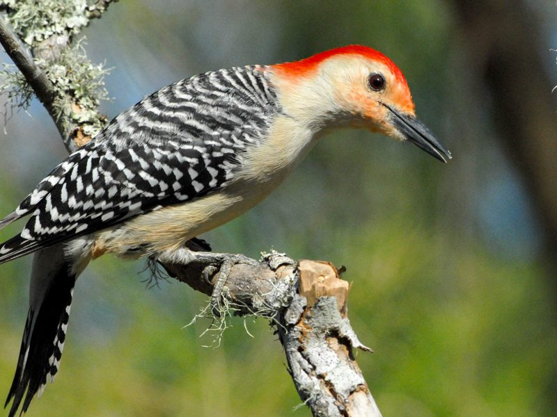Red-bellied Woodpecker, Simon Tan