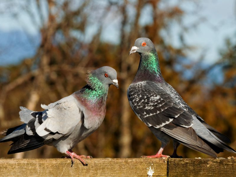 Rock Pigeon, Hui Sim