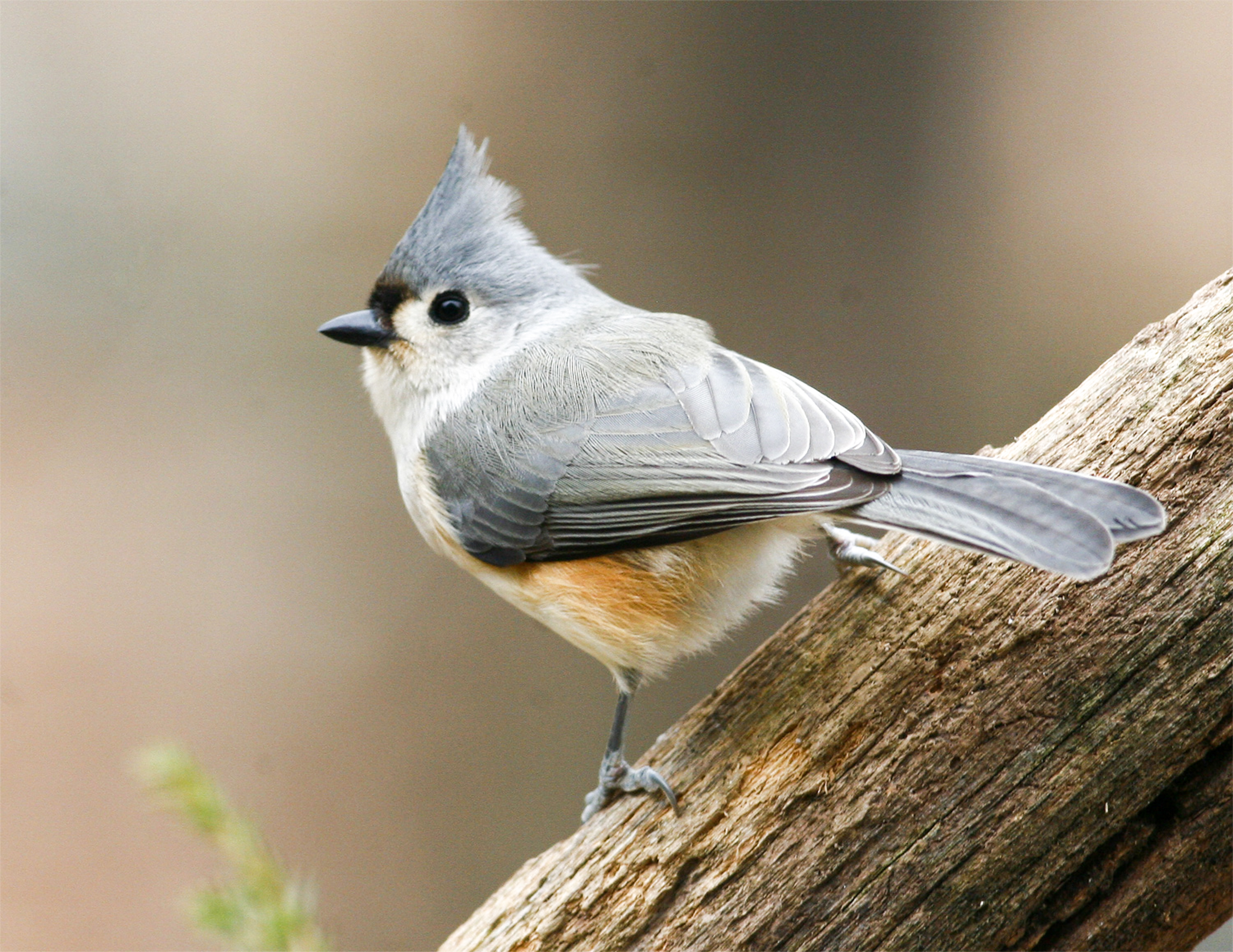 Tufted Titmouse, Enola Wagner