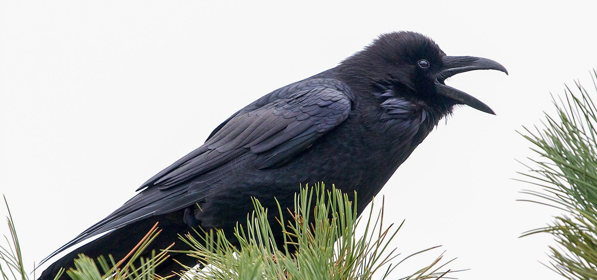 Ruffled Feathers Book Club: Mind of the Raven | Travis Audubon Ruffled Feathers Sanctuary