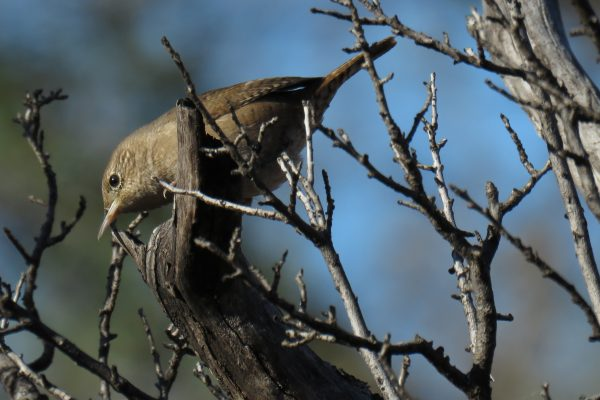 Image: House Wren by Bill Reiner