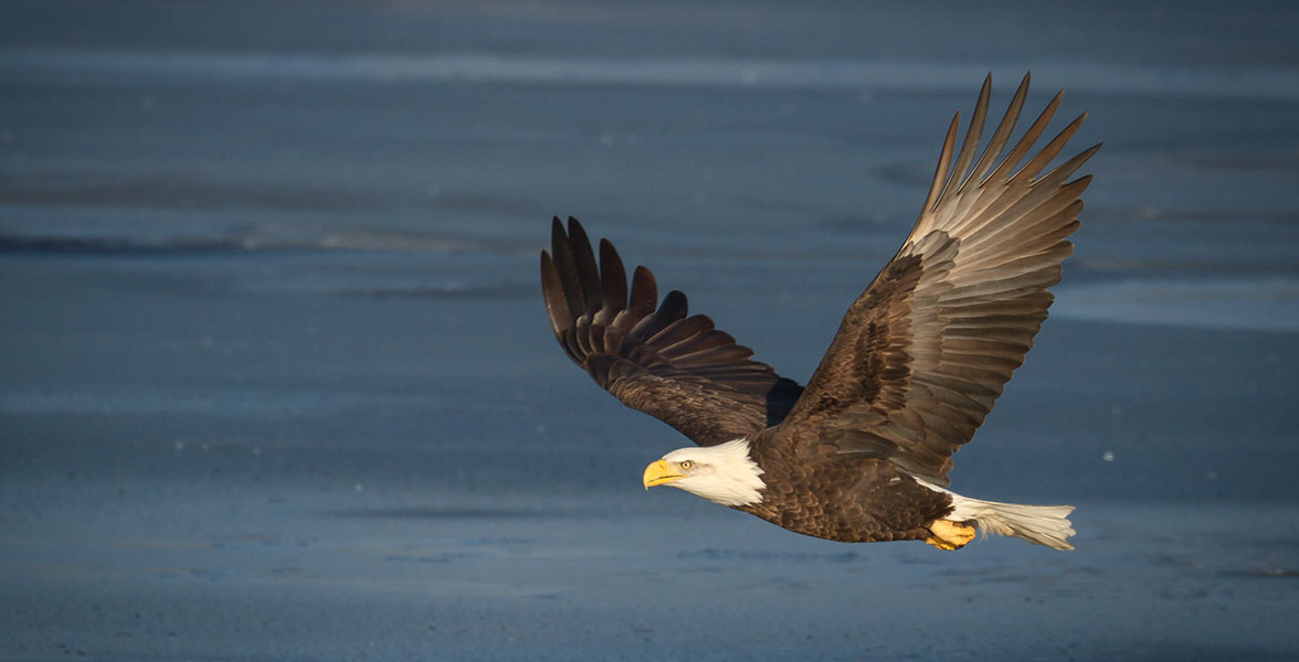 Bird Of The Week Bald Eagle Travis Audubon