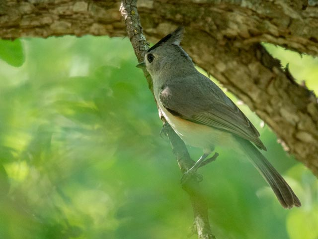 Black-crested Titmouse, Wayne Jeansonne