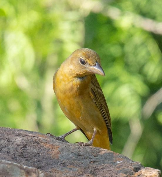 Female Summer Tanager, Wayne Jeansonne