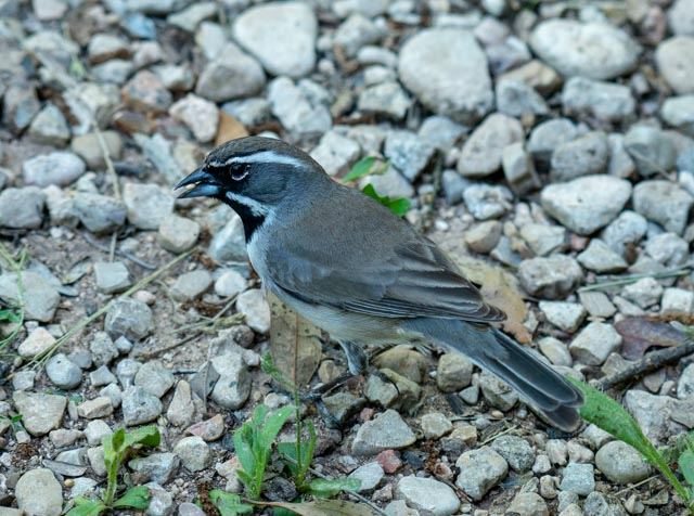 Black-throated Sparrow, Wayne Jeansonne
