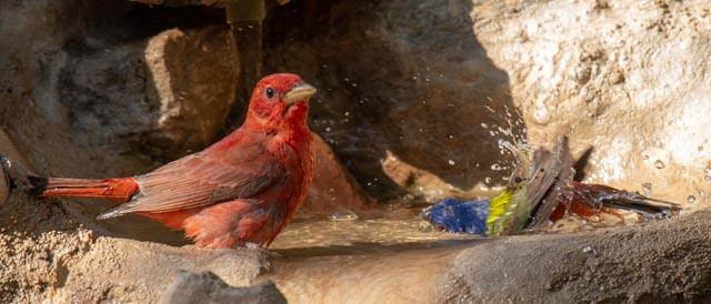 Summer Tanager & Painted Bunting, Wayne Jeansonne