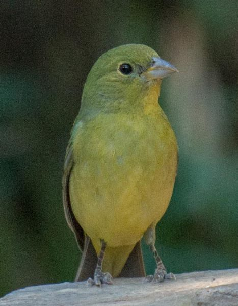 Female Painted Bunting, Wayne Jeansonne