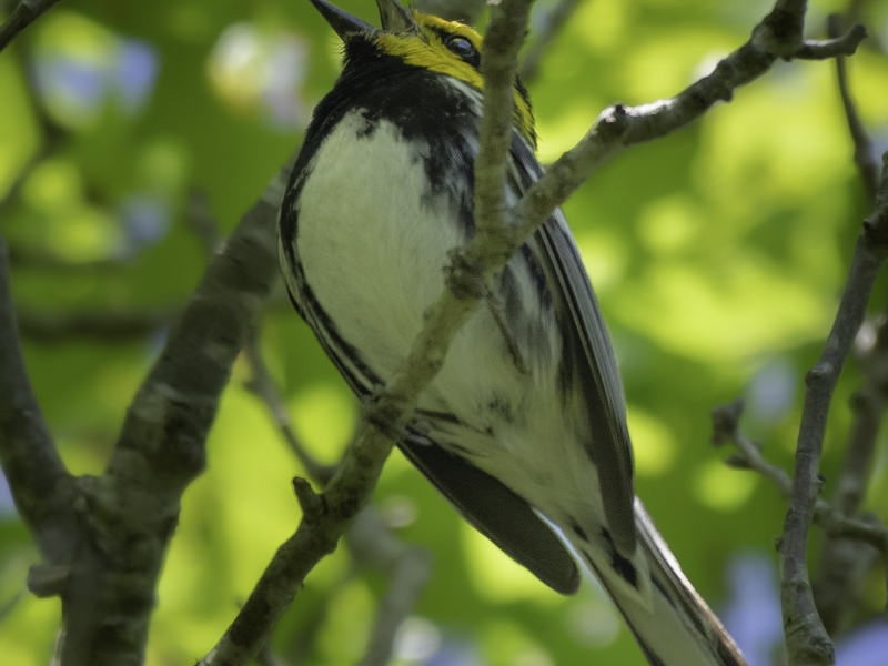 Golden-cheeked Warbler, Shivarama Shetty