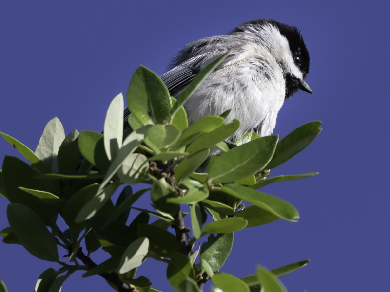 Carolina Chickadee, Shivarama Shetty