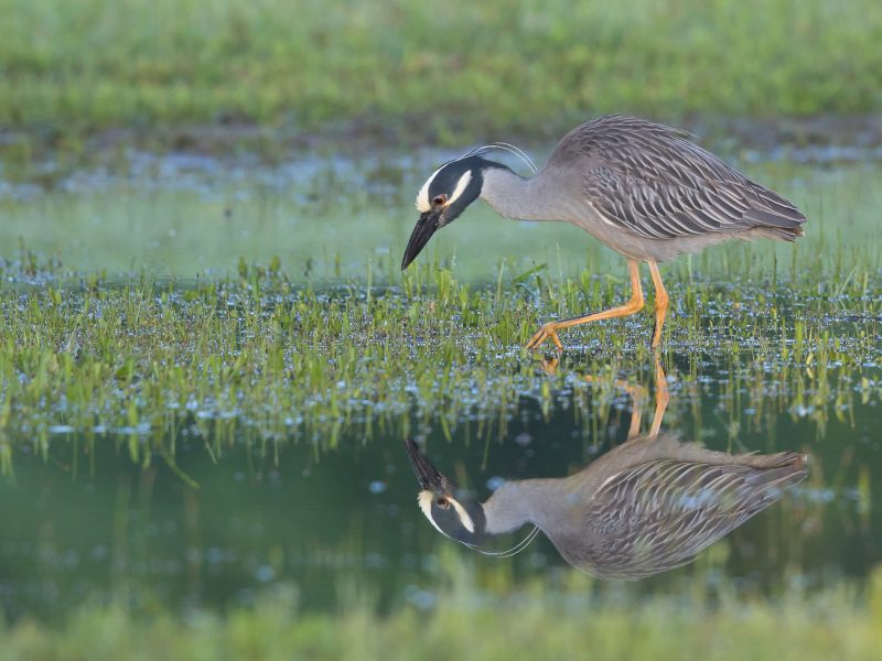 Yellow-crowned Night-Heron, James Giroux