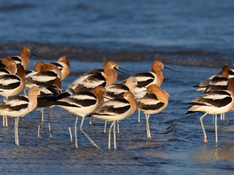 American Avocet, James Giroux