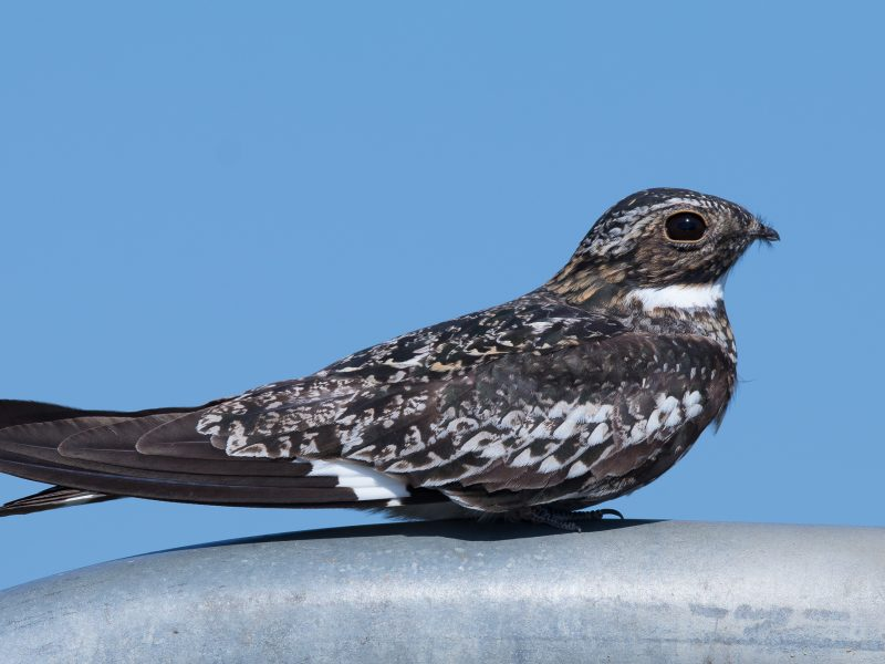 Common Nighthawk, James Giroux