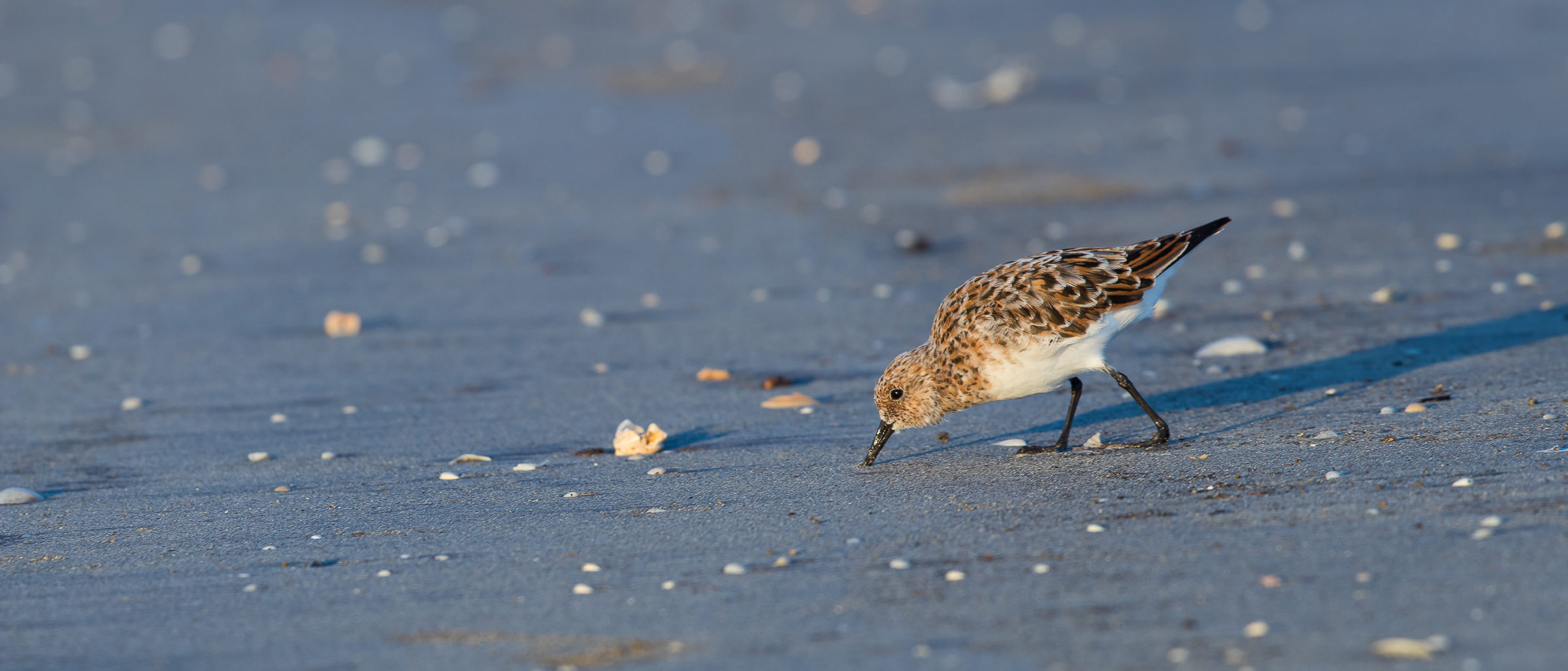 Sanderling, James Giroux