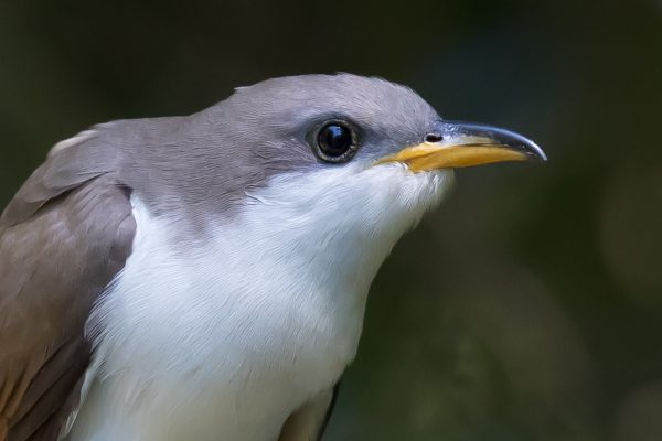 Yellow-billed Cuckoo, James Giroux