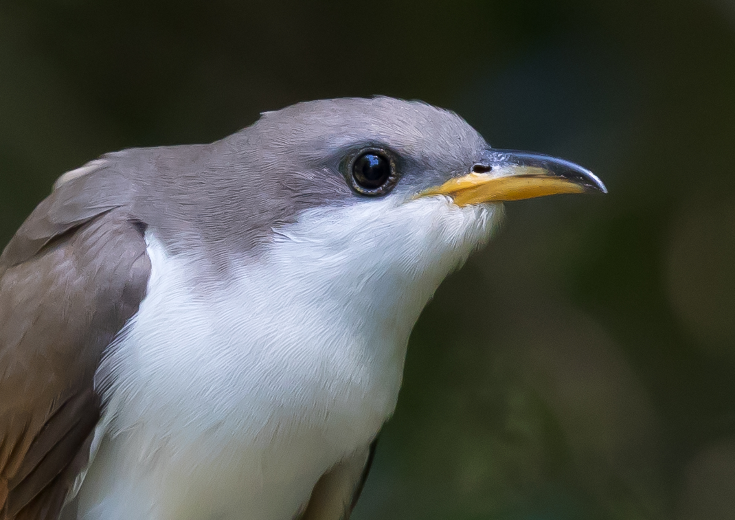 Yellow-billed Cuckoo, James Giroux