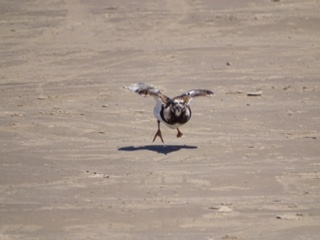 Ruddy Turnstone, Sharon Richardson