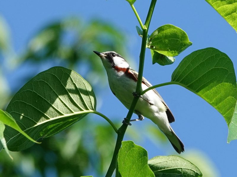 Chestnut-sided Warbler, Celeste Treadway