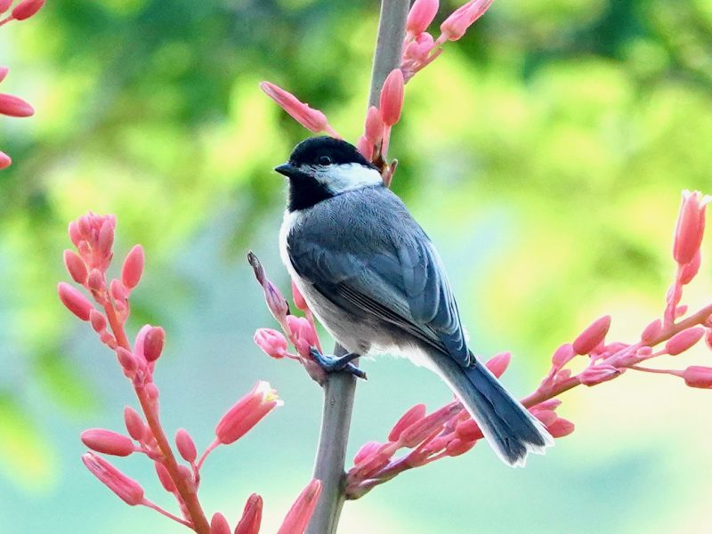 Carolina Chickadee, Celeste Treadway