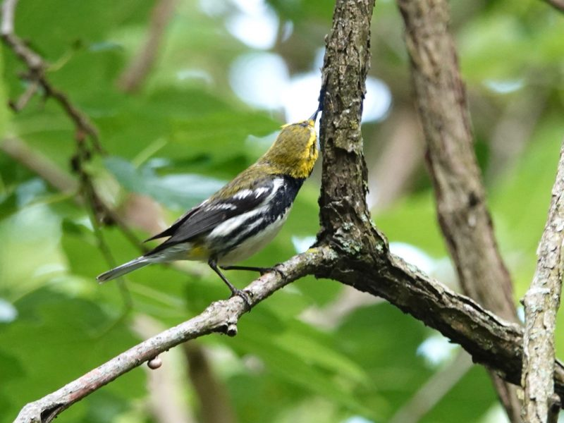 Golden-cheeked Warbler, Celeste Treadway
