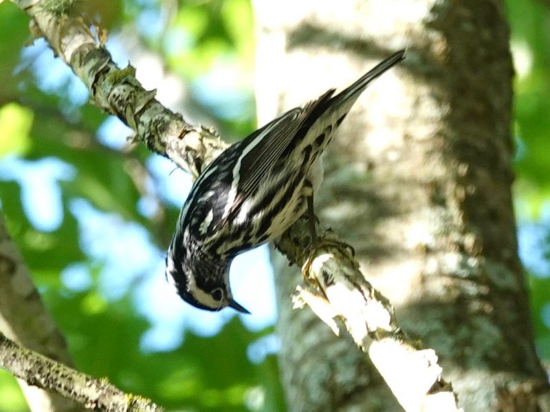 Black-and-white Warbler, Celeste Treadway