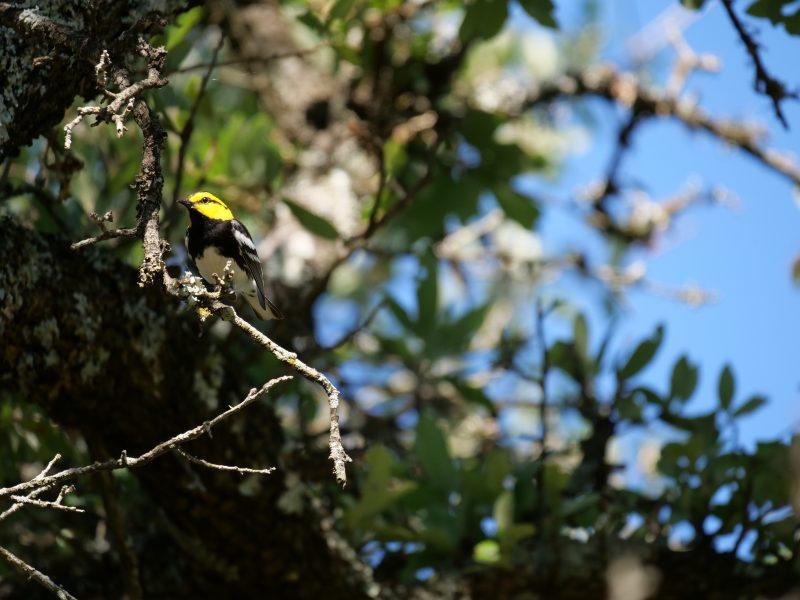 Golden-cheeked Warbler, Amy Robertson